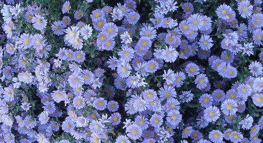 bluedaisy.jpg