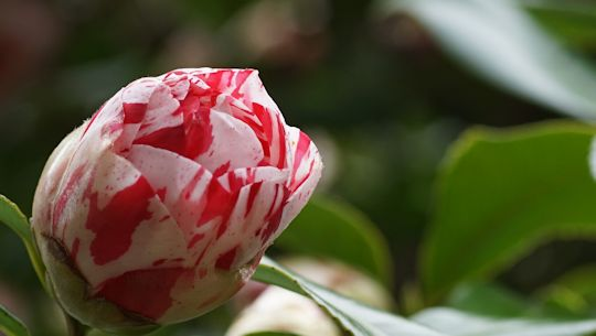 camellia20190310A.jpg
